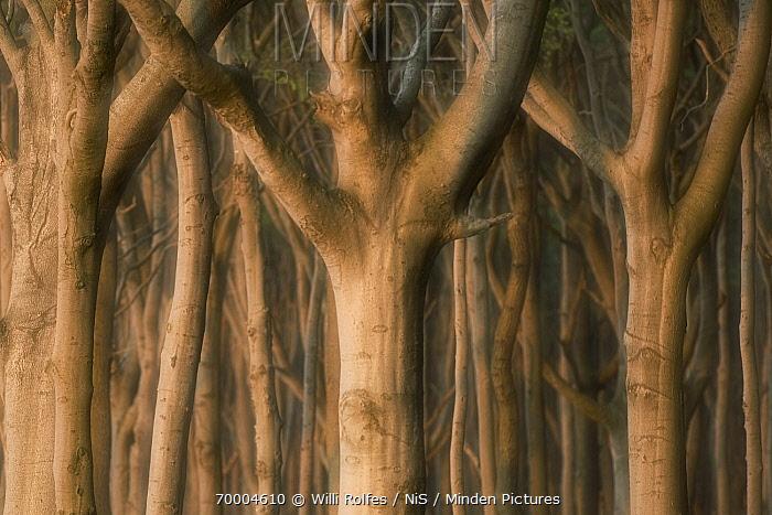 European Beech (Fagus sylvatica) trunks in forest, Nienhagen, Mecklenburg Vorpommern, Germany  -  Willi Rolfes/ NIS