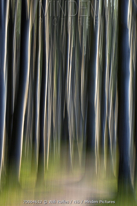 European Beech (Fagus sylvatica) abstract of trunks in forest with path, Nienhagen, Mecklenburg Vorpommern, Germany  -  Willi Rolfes/ NIS