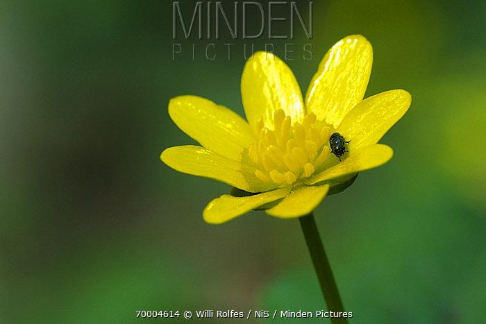 Lesser Celandine (Ranunculus ficaria) flower, Bartenshagen, Mecklenburg-Vorpommern, Germany  -  Willi Rolfes/ NIS