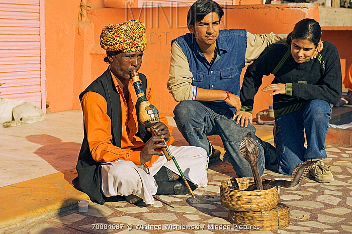Snake charmer in the streets with tourists watching, Jaipur, Rajasthan, India  -  Winfried Wisniewski