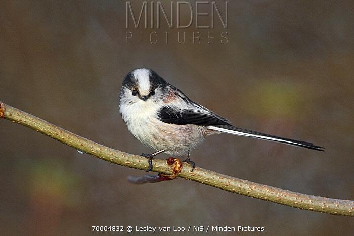 Long-tailed Tit (Aegithalos caudatus), Utrecht, Netherlands  -  Lesley van Loo/ NiS