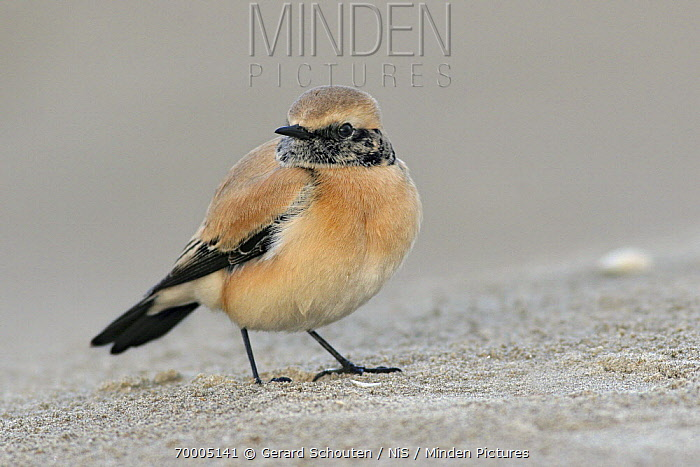 Desert Wheatear (Oenanthe deserti), IJmuiden, Noord-Holland, Netherlands