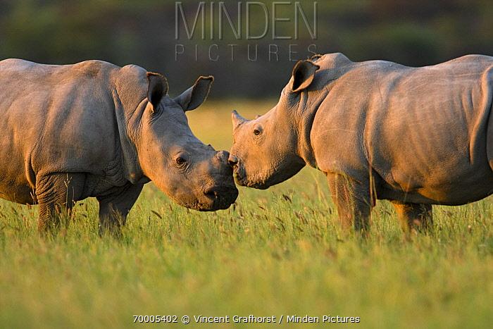 White Rhinoceros (Ceratotherium simum) pair touching noses, Khama Rhino Sanctuary, Serowe, Botswana  -  Vincent Grafhorst