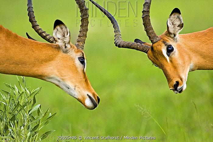 Impala (Aepyceros melampus) males fighting, Moremi Game Reserve, Third Bridge Area, Okavango Delta, Botswana  -  Vincent Grafhorst