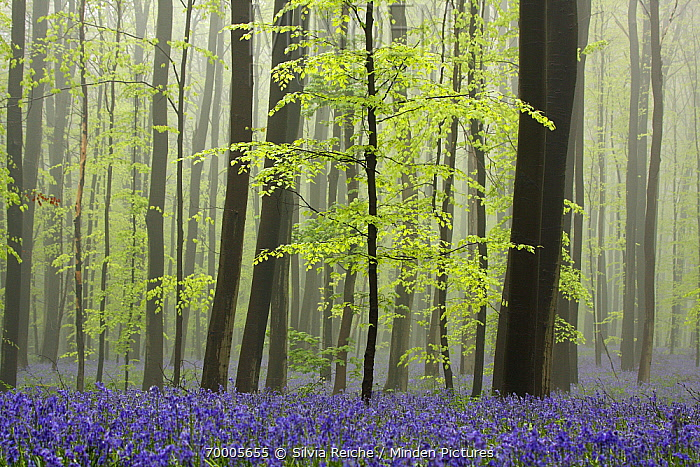 English Bluebell (Hyacinthoides nonscripta) flowering in forest, Halle, Brussels, Belgium  -  Silvia Reiche
