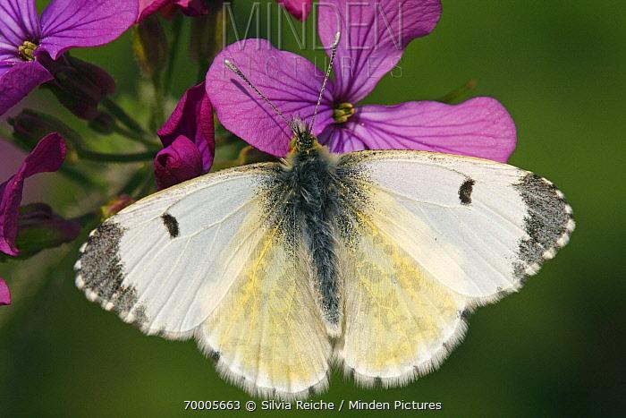 Orange Tip (Anthocharis cardamines) butterfly female feeding on nectar of Annual Honesty (Lunaria annua) flower, Hoogeloon, Noord-Brabant, Netherlands  -  Silvia Reiche