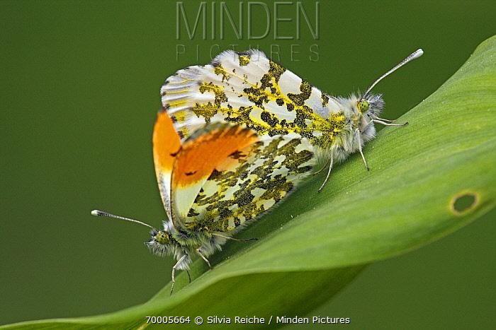 Orange Tip (Anthocharis cardamines) butterfly mating pair, Hoogeloon, Noord-Brabant, Netherlands  -  Silvia Reiche