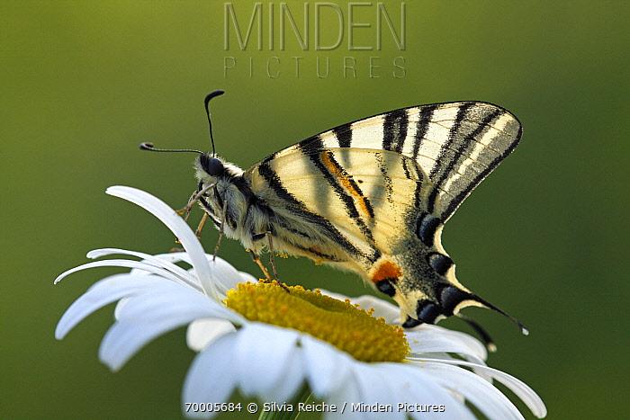 Scarce Swallowtail (Iphiclides podalirius) butterfly on Marguerite (Leucanthemum vulgare), Netherlands  -  Silvia Reiche