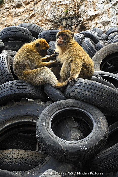 Barbary Macaque (Macaca sylvanus) pair grooming in tire dump, Rock of Gibraltar, Gibraltar  -  Simon Littlejohn/ NiS
