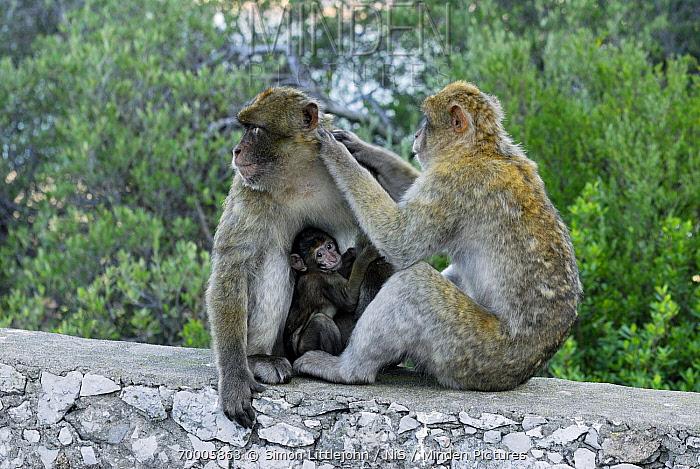 Barbary Macaque (Macaca sylvanus) pair with baby grooming, Rock of Gibraltar, Gibraltar  -  Simon Littlejohn/ NiS