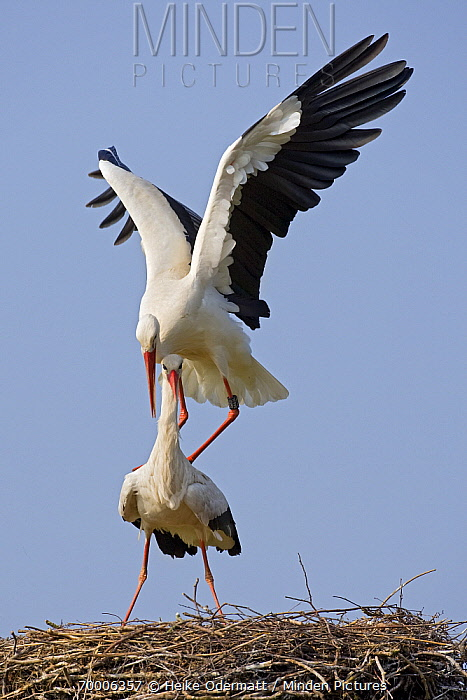 White Stork (Ciconia ciconia) pair courting on the nest, Switzerland  -  Heike Odermatt