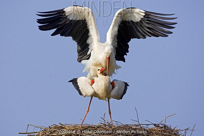 White Stork (Ciconia ciconia) mating on the nest, Switzerland  -  Heike Odermatt