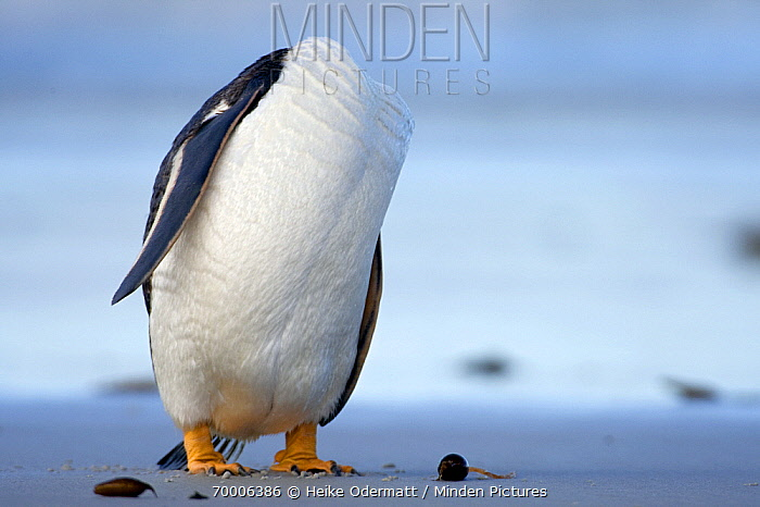 Gentoo Penguin (Pygoscelis papua) grooming on beach, Falkland Islands  -  Heike Odermatt