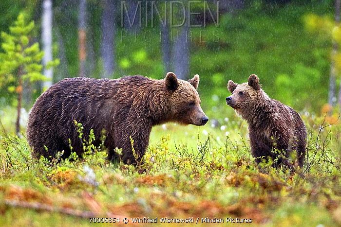 Brown Bear (Ursus arctos) mother with cub in a bog in heavy rain, Finland  -  Winfried Wisniewski
