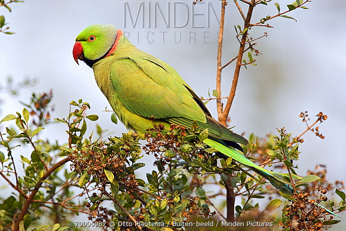 Rose-ringed Parakeet (Psittacula krameri) male, Keoladeo National Park, India  -  Otto Plantema/ Buiten-beeld
