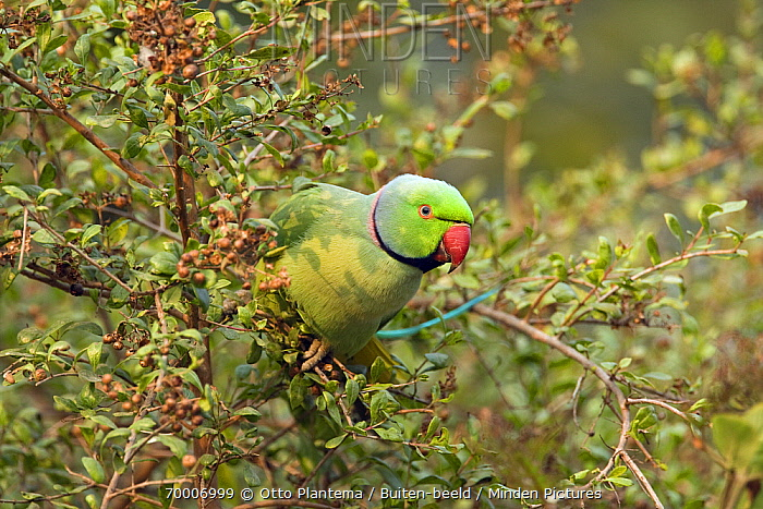 Rose-ringed Parakeet (Psittacula krameri) male perched in bush, Keoladeo National Park, India  -  Otto Plantema/ Buiten-beeld