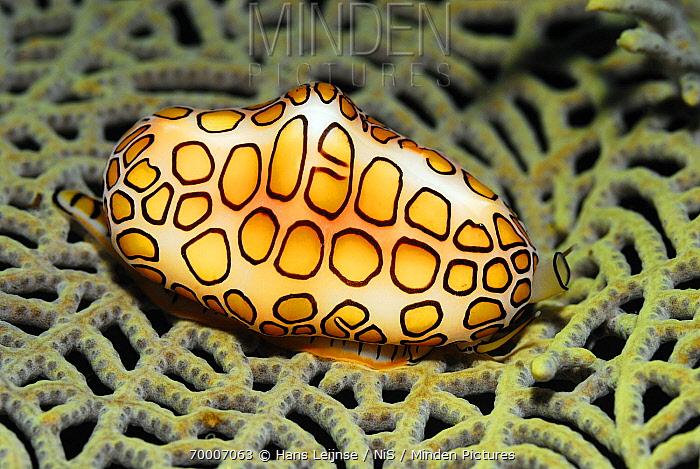 Flamingo Tongue Snail (Cyphoma gibbosum) on coral, Bonaire, Netherlands Antilles  -  Hans Leijnse/ NiS