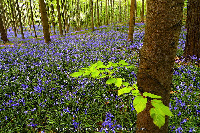 English Bluebell (Hyacinthoides nonscripta) with English Beech (Fagus sylvatica), Halle, Brussels, Belgium  -  Danny Laps/ NiS