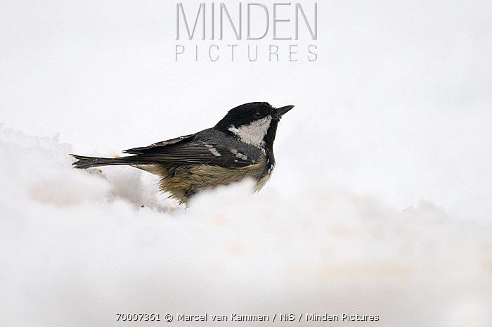 Coal Tit (Periparus ater) in the snow, Germany  -  Marcel van Kammen/ NiS