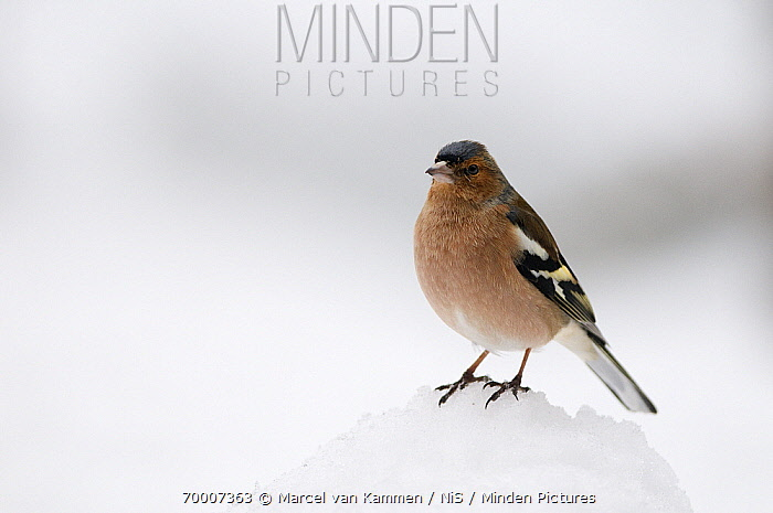 Chaffinch (Fringilla coelebs) male in the snow, Germany  -  Marcel van Kammen/ NiS