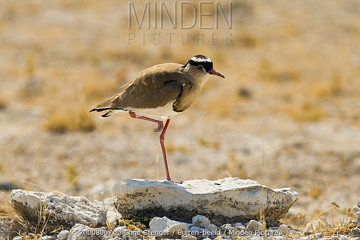 Crowned Lapwing (Vanellus coronatus) on a stone, Etosha, Namibia  -  Chris Stenger/ Buiten-beeld