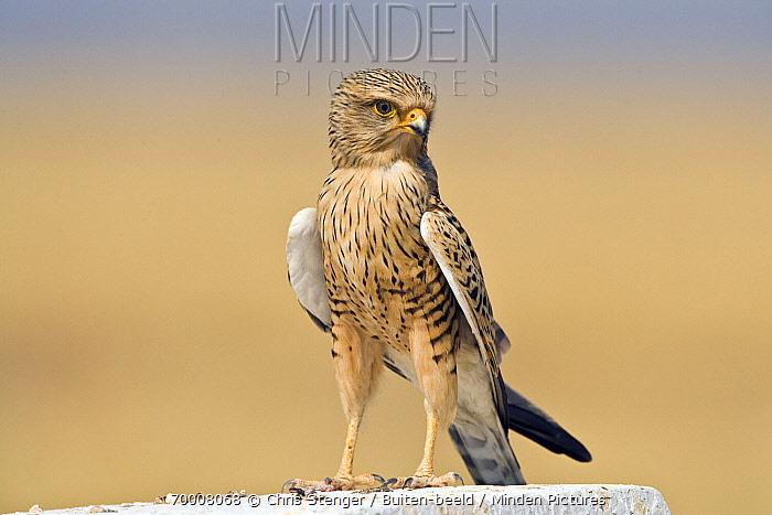 Greater Kestrel (Falco rupicoloides) on a stone, Etosha, Namibia  -  Chris Stenger/ Buiten-beeld
