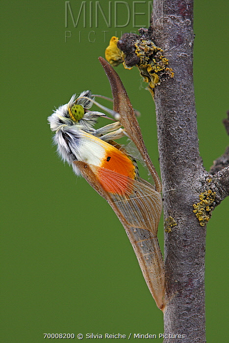 Orange Tip (Anthocharis cardamines) emerging from chrysalis, Hoogeloon, Noord-Brabant, Netherlands. Sequence 7 of 13  -  Silvia Reiche