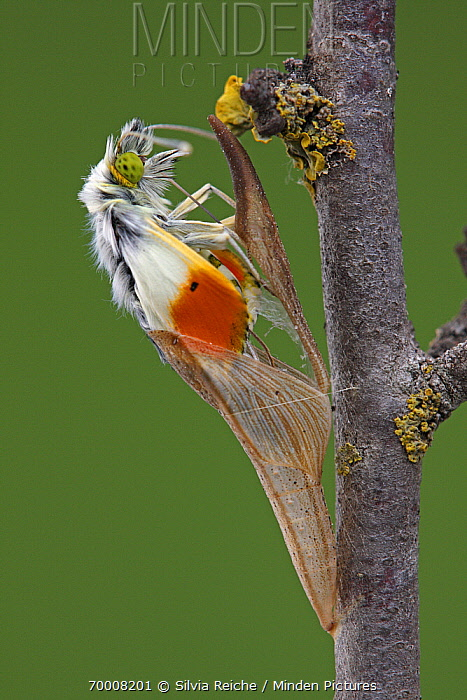 Orange Tip (Anthocharis cardamines) emerging from chrysalis, Hoogeloon, Noord-Brabant, Netherlands. Sequence 8 of 13  -  Silvia Reiche