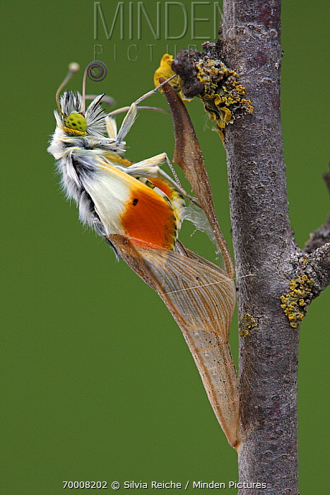 Orange Tip (Anthocharis cardamines) emerging from chrysalis, Hoogeloon, Noord-Brabant, Netherlands. Sequence 9 of 13  -  Silvia Reiche