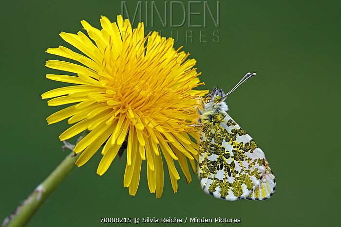 Orange Tip (Anthocharis cardamines) female on Dandelion (Taraxacum officinale), Hoogeloon, Noord-Brabant, Netherlands  -  Silvia Reiche