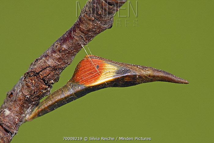 Orange Tip (Anthocharis cardamines) butterfly emerging from chrysalis, Hoogeloon, Noord-Brabant, Netherlands  -  Silvia Reiche