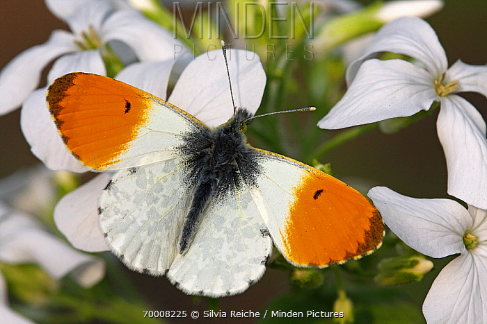 Orange Tip (Anthocharis cardamines) butterfly male on Annual Honesty (Lunaria annua), Hoogeloon, Noord-Brabant, Netherlands  -  Silvia Reiche