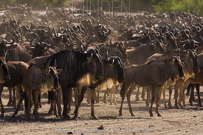 Blue Wildebeest (Connochaetes taurinus) migrating, Lake Ndutu, Tanzania  -  Loulou Beavers/ NiS