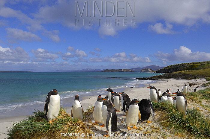 Gentoo Penguin (Pygoscelis papua) colony at coast, Falkland Islands  -  Jan Baks/ NiS