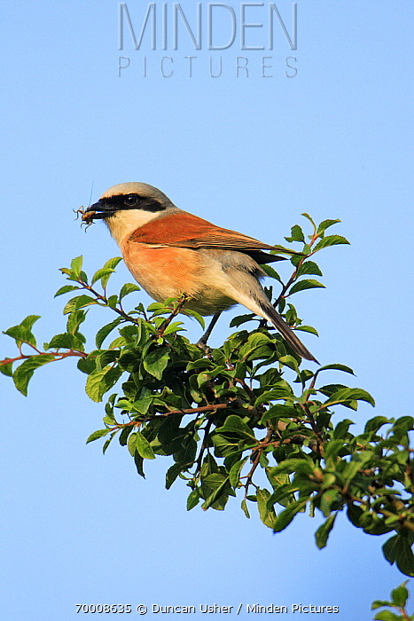 Red-backed Shrike (Lanius collurio) male with insect prey, Lower Saxony, Germany  -  Duncan Usher