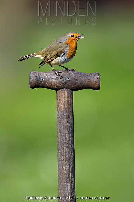 European Robin (Erithacus rubecula) on garden spade, Lower Saxony, Germany  -  Duncan Usher