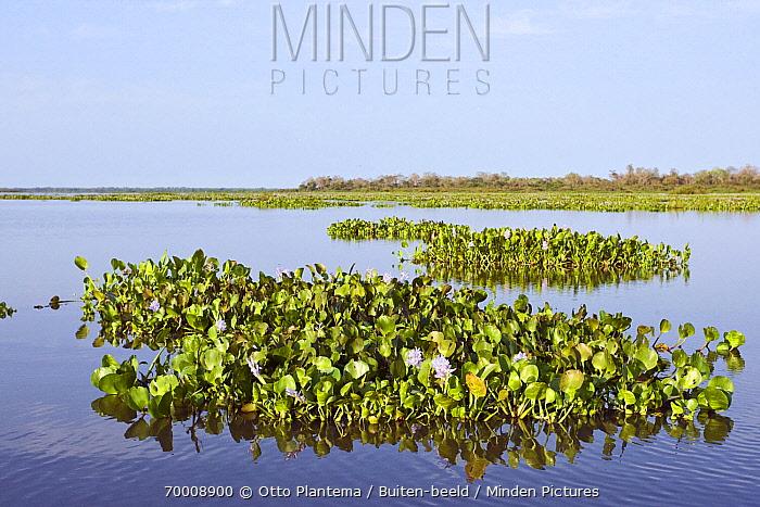 Common Water Hyacinth (Eichhornia crassipes) during dry season, Pantanal, Brazil  -  Otto Plantema/ Buiten-beeld