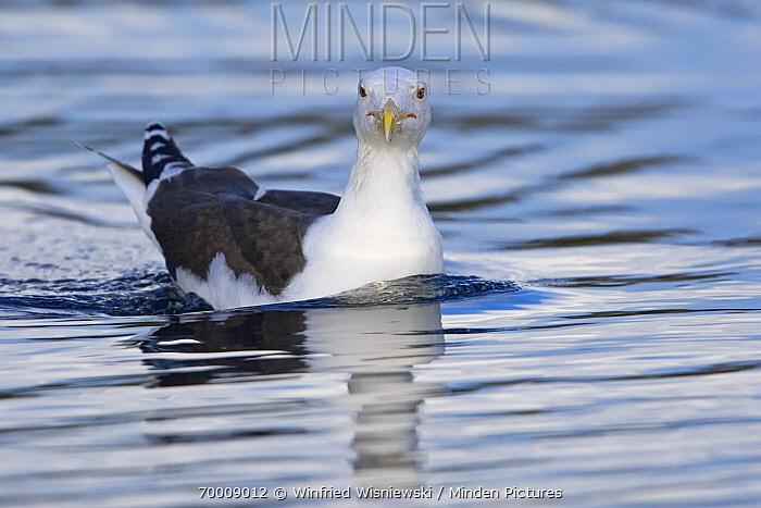 Great Black-backed Gull (Larus marinus) swimming, Norway  -  Winfried Wisniewski