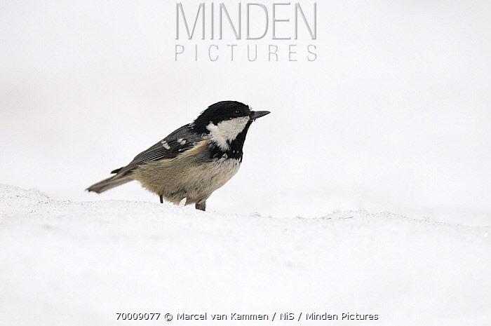 Coal Tit (Periparus ater) in the snow, Bavarian Forest National Park, Bavaria, Germany  -  Marcel van Kammen/ NiS