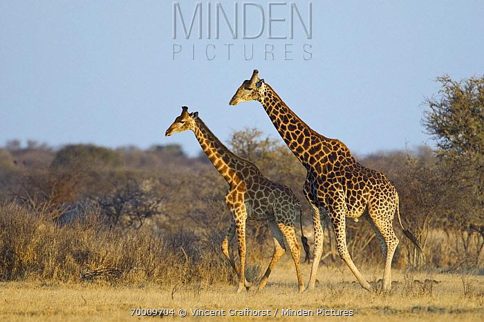 Southern Giraffe (Giraffa giraffa) adult with young male, Khama Rhino Sanctuary, Serowe, Botswana  -  Vincent Grafhorst
