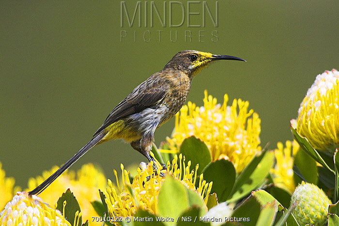 Cape Sugarbird (Promerops cafer) male on protea, Cape of Good Hope National Park, South Africa  -  Martin Woike/ NiS