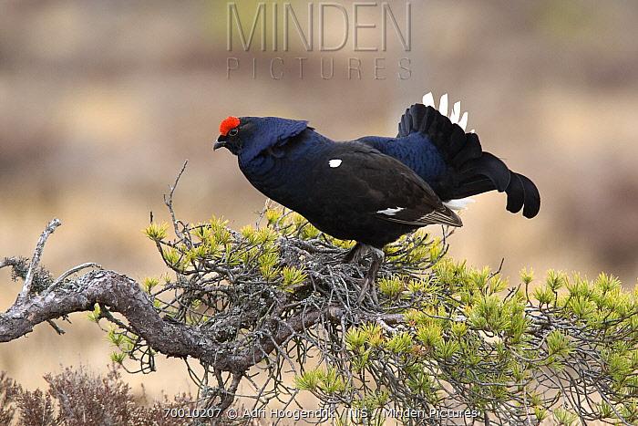 Black Grouse (Tetrao tetrix) male displaying, Sweden  -  Adri Hoogendijk/ Buiten-beeld
