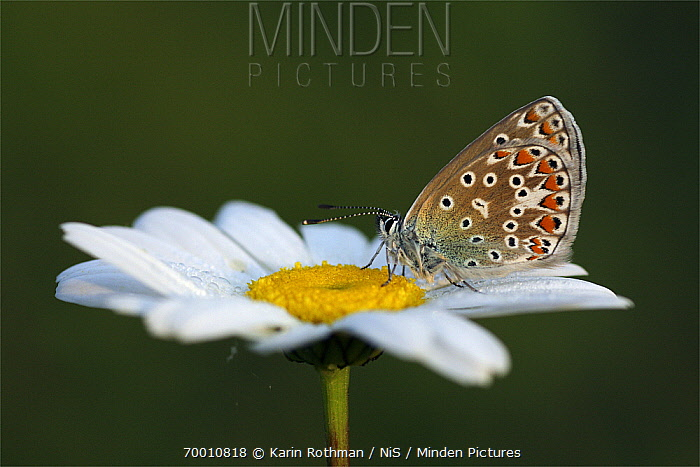 Common Blue (Polyommatus icarus) butterfly female on Marguerite (Leucanthemum vulgare), Overijssel, Netherlands  -  Karin Rothman/ NiS