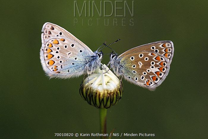 Common Blue (Polyommatus icarus) male and female butterflies on Marguerite (Leucanthemum vulgare), Overijssel, Netherlands  -  Karin Rothman/ NiS