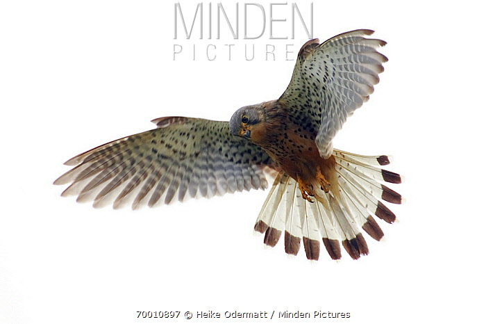 Eurasian Kestrel (Falco tinnunculus) flying, Texel, Netherlands  -  Heike Odermatt