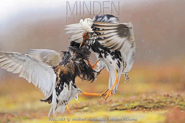Ruff (Philomachus pugnax) males fighting at lek in rain, Varanger Peninsula, Norway  -  Winfried Wisniewski