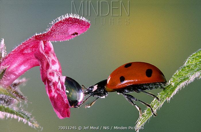 Seven-spotted Ladybird (Coccinella septempunctata) drinking, Netherlands  -  Jef Meul/ NIS