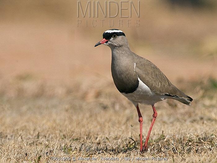 Crowned Lapwing (Vanellus coronatus), South Africa  -  Alexander  Koenders/ NiS