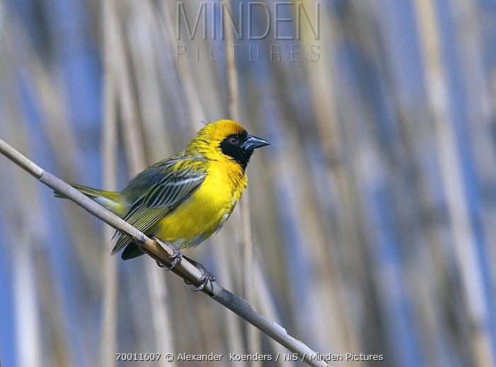Masked-Weaver (Ploceus velatus) male, South Africa  -  Alexander  Koenders/ NiS