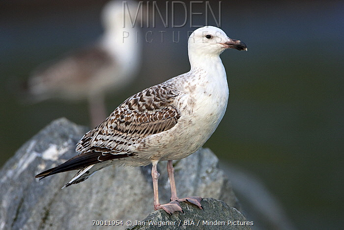 Great Black-backed Gull (Larus marinus) juvenile perched on a rock, Vannoy, Norway  -  Jan Wegener/ BIA